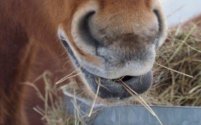 Hoe werkt de spijsvertering van het paard